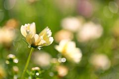 Summertime (mclcbooks) Tags: flower flowers floral macro closeup denverbotanicgardens colorado bokeh