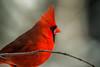 Mr Red (langdon10) Tags: bird canada canon70d cardinal novascotia cold outdoors winter ngc