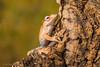 Borneo Eared Frog (Linda Martin Photography) Tags: borneoearedfrog dorset polypedatesotilophus wildlife frogworkshop uk nature coth naturethroughthelens coth5 alittlebeauty ngc npc