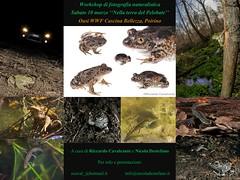 Workshop di fotografia naturalistica (Nicola Destefano) Tags: workshopfotografico fotografianaturalistica anfibi rettili pelobatefosco macro macroambientata oasiwwf wwf