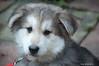 The Bear, Daughters new woofer. (tony allan tony allan) Tags: puppy alsatian