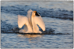 Decelerating Tundra swan (EXPLORE, Jan 23,2018 #101) (RKop) Tags: d500 raphaelkopanphotography nikkor600f4evr 14xtciii fernaldpreserve ohio sunset handheld
