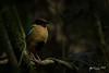 Noisy Pitta (R. Francis) Tags: noisypitta pittaversicolor dorrigo dorrigonationalpark newsouthwales northernnsw midnorthcoast ryanfrancis ryanfrancisphotography