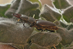 Stag beetle stack IMG_0231 (davholla2002) Tags: canon550d lucanuscervus stag beetle canonefs60mmf28usm