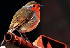 robin red (gshaun12) Tags: robin red nature fantasticnature bird art bokeh macro macrodreams animals