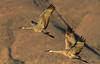 Morning Flight (tomblandford) Tags: sandhillcranes bosquedelapache bosquedelapachecranes conservation protecttheenvironment protectpubliclands protectwildlife getyourgooseon cornelllab audubon newmexicobirding
