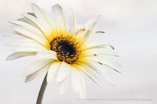 White Osteospermum against Nearly White, 2.7.18