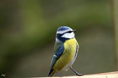 Mésange bleue_Cyanistes caeruleus (nicéphor) Tags: tamron150600mm wildlife tits meisen mésange canon faune birds oiseaux vögel