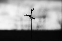 Una esperanza (Mishifuelgato) Tags: solitude black white blanco negro soledad planta esperanza philosphy fotografía alicante photography