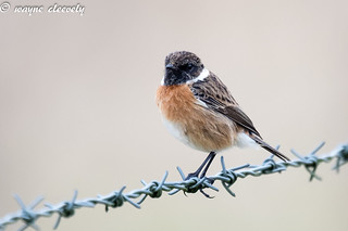 A1 Stonechat