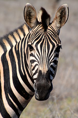 portrait Zébre South Africa_4929 (ichauvel) Tags: zébre zebra animal animalsauvage wildeanimal rayures beautédelanature beautyofnature faune fauna regard eyes looking regarder parckruger rugerpark afriquedusud southafrica mpumalanga voyage travel savane getty