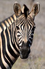 portrait Zébre South Africa_4929 (ichauvel) Tags: zébre zebra animal animalsauvage wildeanimal rayures beautédelanature beautyofnature faune fauna regard eyes looking regarder parckruger rugerpark afriquedusud southafrica mpumalanga voyage travel savane