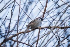 Sparrow (Ciuchniecki Photography) Tags: sparrow bird ptak wróbel podlasie podlaskie zabłudów ciuchniecki photography sonya7ii sony sonyalpha sonyimages
