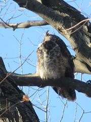 Great Horned Owl 1 (D. S. Hałas) Tags: halas hałas canada ontario haltonregion haltoncounty burlington chordata sarcopterygii aves strigiformes bubovirginianus greathornedowl owl bird