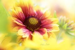 Sunshine (Jacky Parker Flower Photography) Tags: gaillardia flower yellow summerflower bright fresh vibrant beautyinnature horizontalformat closeup outdoors nopeople floralart inflower inbloom vitality sunshine sunny flowerphotography