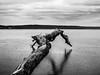 Log In (PhotoKaton) Tags: landscape branch wood lake frozen ice winter motala sweden black white bw monochrome art