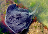Smooth Stingray, with Silver Trevally swimming near his tail (Dan Ross Artist) Tags: stingray frank kitts lagoon wellington dan ross artist new zealand fish seaweed ocean water