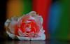 MM -- My Favourite Novel -- The name of the rose (tdwrsa) Tags: canoneos70d ef100mmf28macrousm macromondays myfavouritenovelfiction umbertoeco thenameoftherose rose layers