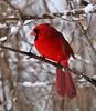 Cardinal in the NJ snow... (graemeclark61) Tags: cardinal red nj winter snow backyard