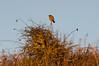 191 robin (Pixelkids) Tags: wales llantwitmajor robin rotkehlchen vogel hecke