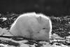 Arctic Fox (ericstadler83) Tags: bw a7rii a7r2 a7rm2 sony tamron 150600mm 150600 fox arctic animal cute eye black white winter snow blackandwhite fine art zoom long lens michigan
