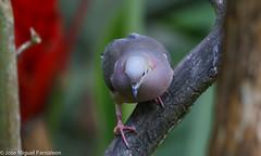 7- Es increible como las hormonas de cortejo  y el Breeding plumaje llega a encender los colores tornasoles de cortejo en esta especie que en tiempo no reproductivo se queda en el monocromático! (Cimarrón Mayor 12,000.000. VISITAS GRACIAS) Tags: ordencolumbiformes familiacolumbidae nombrecientíficozenaidaauriculatacaucae macho zenaidatorcaza tórtolatorcaza tórtolaorejuda palomitamontera protónimozenaidaauriculatacaucae ningleseareddove male lugardecapturafincaalejandríakm18 cali colombia ave vogel bird oiseau paxaro fugl pássaro птица fågel uccello pták vták txori lintu aderyn éan madár cimarrónmayor panta pantaleón josémiguelpantaleón objetivo500mm telefoto700mm 7dmarkii canoneos canoneos7dmarkii naturaleza libertad libertee libre free fauna dominicano pájaro montañas