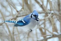 Blue Jay by Jackie B. Elmore 1-13-2018 Lincoln Co. KY (jackiebelmore) Tags: cyanocittacristata bluejay jay lincolnco kentucky nikon7100 tamronsp150600f563 jackiebelmore kos