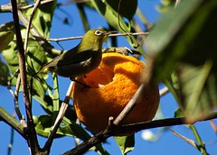 Japanese White Eye (jerrygabby1) Tags: orange tree eating white eye hole