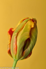 "In our livingroom, ""Tulipe Française"" (Fred / Canon 70D) Tags: tulip tulp tulipefrançaise flower canon canon70d canoneos fransetulp jinbeiwhiteumbrella jinbeidiffusionjumboumbrella jinbei falconeyesskk2150d falconeyes ef100mmf28lmacroisusm eefde"