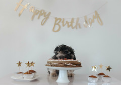 5/52- 10 Years Old! (Kirstyxo) Tags: teddy cute dog birthday cake fun 10yearsold happybirthday dogbirthday dogcake 552 52weeksfordogs 52weeksfordogs2018 52weeksfordogs18