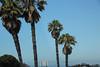 Pallm Trees (BeerAndLoathing) Tags: rebel california summer roadtrip usa july californiatrip ocean trip trees canon coast t3i pch