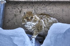 Homeless cat (Staropramen1969) Tags: cat animals winter homeless redhead snow katze tiere obdachlose rotschopf schnee gato animales invierno vagabundo pelirroja nieve