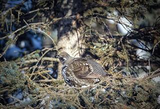 Spruce Hen Sunbathing