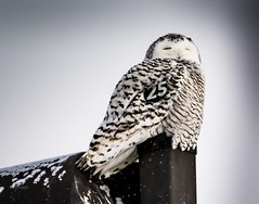 The Queen sits upon her throne . . . (Dr. Farnsworth) Tags: owl snowyowl bird large arctic female lightpole wurfel park traversecity mi michigan winter february2018