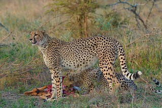 on high alert for scavengers while her cubs eat