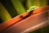 PEAK A BOO! (Sandy Hill :-)) Tags: anoles greenanoles lizards geckos amphibian kauai hawaii sunny warm hunting shadows colorful nature sandyhill sandyhillphotography