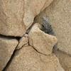Iguana on the rocks (jimbobphoto) Tags: lizard cabo mexico desert rocks