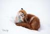 Ahhhhhh (Dan King Alaskan Photography) Tags: redfox fox vulpesvulpes prudhoebay alaska resting face canon50d sigma150600mm