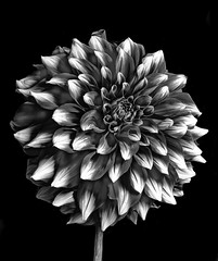 Red And White Dahlia In Black And White (Bill Gracey 18 Million Views) Tags: dahlia fleur flower flor blackbackground blackandwhite blancoynegro noiretblanc silverefexpro sidelighting lastoliteezbox softbox yongnuo yongnuorf603n sandiegocountyfair delmar shapes shadows tones