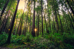 Sunrise in the Redwoods (Bartfett) Tags: california redwoods redwood sunrise trees forest sequioas giant tallest tall coastal northern stout grove beautiful foliage green dawn morning sun sunbeam
