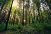 Sunrise in the Redwoods (Bartfett) Tags: california redwoods redwood sunrise trees forest sequioas giant tallest tall coastal northern stout grove beautiful foliage green dawn morning sun sunbeam