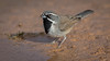 Black-throated Sparrow (Eric Gofreed) Tags: arizona beaverheadflatroad blackthroatedsparrow sparrow yavapaicounty