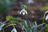 Snowdrops (Mark Birkle) Tags: galanthus nivalis snow drops snowdrops flower winter white lance shaped leaves teardrop small head petals picture image photo naturalized tepals early bloom first