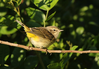 Palm Warbler ... Setophaga palmarum