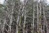 A stand of leafless alder trees (rozoneill) Tags: cape mountain berry creek siuslaw national forest hiking oregon florence princess tasha scurvy ridge trail nelson coastal