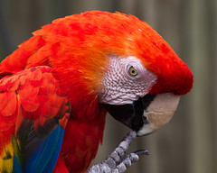 Comtemplating Scarlet Macaw (Ara macao) (famasonjr) Tags: scarletmacaw aramacao nature wildlif wildlife bokeh red scarlet macaw infinitexposure