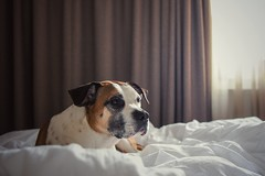 02/12 Edgar taking it slow (Jutta Bauer) Tags: cozy vacation slow morning bed dog 12monthsforedgar 12monthsfordogs