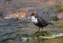 Dipper (mikedenton19) Tags: dip dipper cinclus cincluscinclus boltonabbey nationaltrust bird water riverwharfe river wildlife nature strid northyorkshire yorkshiredalesnationalpark wharfedale