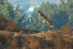 Short-eared Owl (christopheradler) Tags: california shorteared owl asio flammeus