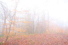 Misty Woodland (Dave Roberts3) Tags: wales gwent newport park coedmelyn wood woodland leaf yellow brown leaves fog weather